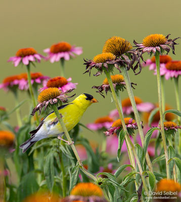 American Goldfinch on Purple Coneflower Copyright David Seibel