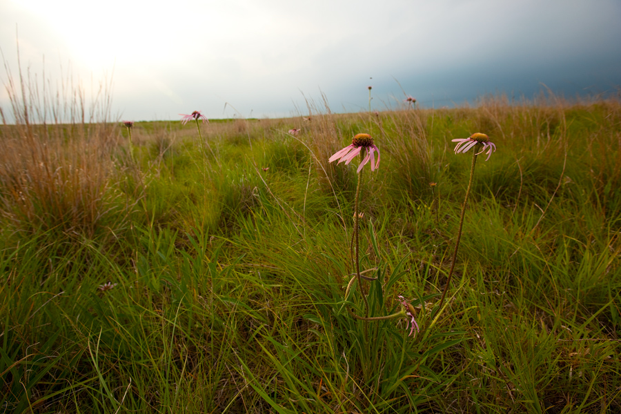 Coneflowers on the Pawnee